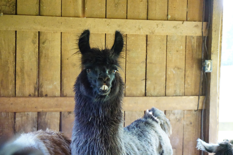 The Divine Llama Vineyards