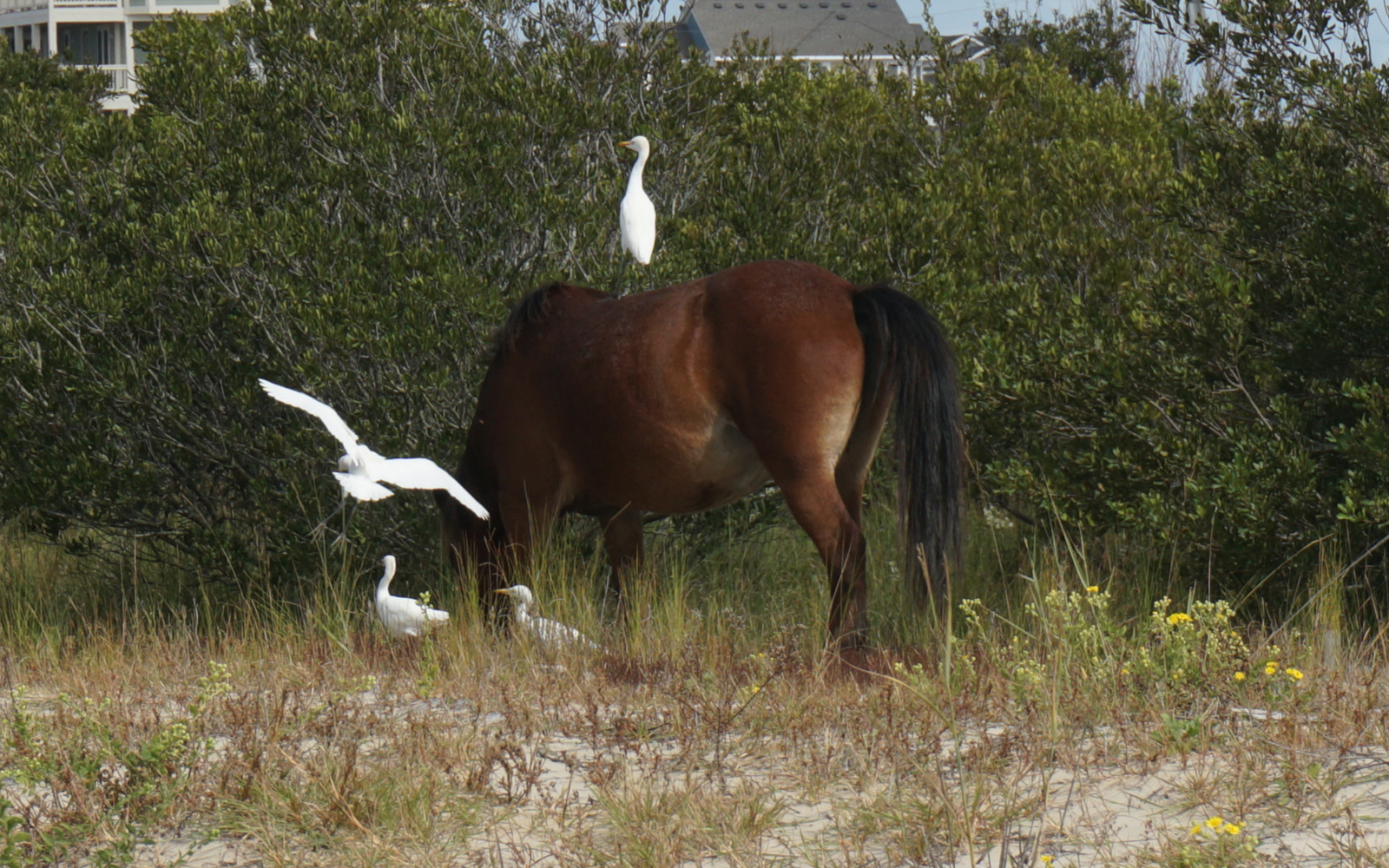 Wild Horses in Corolla Will Make You Feel Like You are in a Fairy Tale